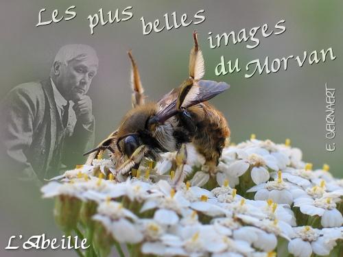 L'abeille Anthidium florentinum  Photographie : Eric GEIRNAERT